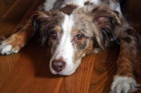Australian Shepherd dog is on the floor
