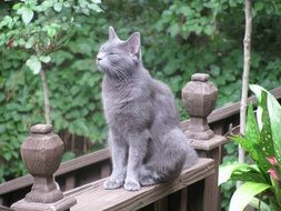 relaxed russian blue cat