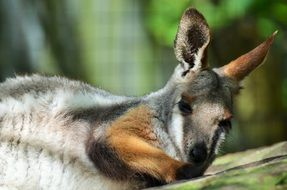 cute bennett\'s wallaby