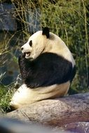 panda is sitting on a stone