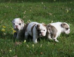 little bulldogs on green grass