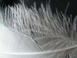 fluffy edges of bird feather