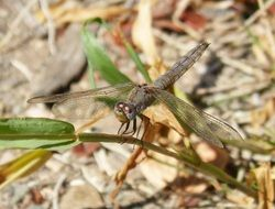 Dragonfly Winged