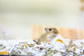 incredible Gerbil Mouse