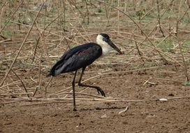 woolly necked stork in wild life