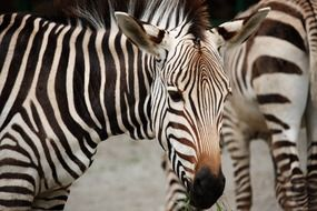 flock of striped zebras