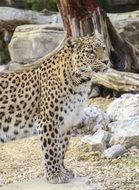 Persian leopard near the stones