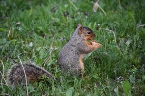 cute squirrel with peanuts in the wild