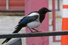 magpie Bird perched fence
