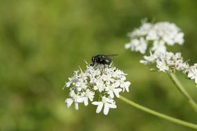fly sits on a white flower in a meadow