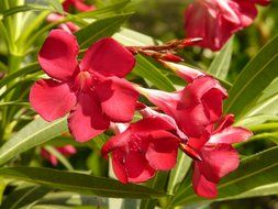 red oleander flowers with green leaves