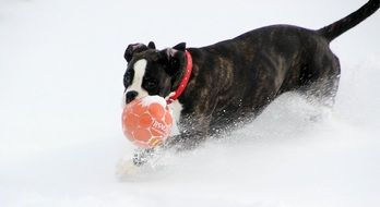 Boxer dog is playing with ball in the snow