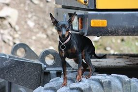 cute little Miniature Pinscher
