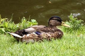 Mallard lies on green grass