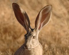 portrait of a hare among the field