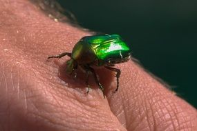 Beetle Green Insect Dung Beetle