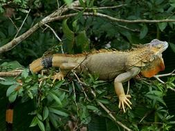 iguana on the tree branch