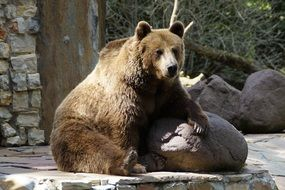brown bear leaned on stone in the zoo