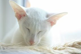 cute white oriental cat is sleeping