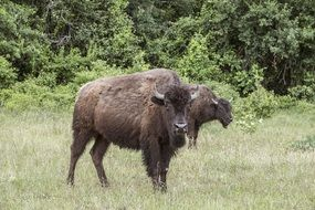Picture of the buffaloes
