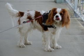 dog breed Cavalier King Charles Spaniel with brown and white fur