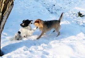 enchanting Dogs Play in Snow