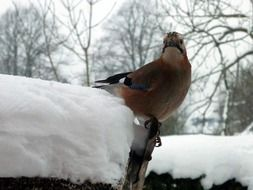 Jay bird at winter