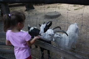 little girl feeds goats in a zoo