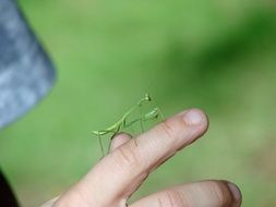 Mantis Insect Green Finger Hand