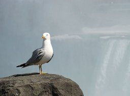 seagull stands on a stone in the fog