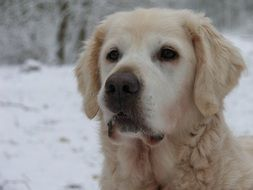 portrait of a golden retriever in winter