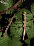 stick insect camouflages on a branch