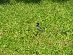 small bird in green grass on a sunny day