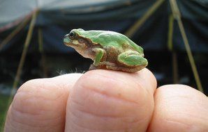 small green frog on finger