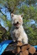 West Highland White Terrier on the wood