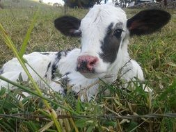 white calf with black spots lies on the green grass