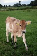 home calf on pasture