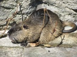 Nutria Rodent Nager
