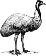 Emu Bird black and white sketch