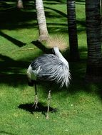 fluffy grey crowned crane