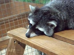 raccoon is lying on a wooden bench