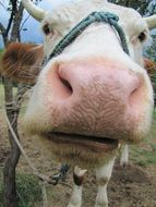 pink cow nose