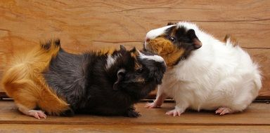three-colour guinea pig