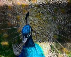 portrait of a blue peacock