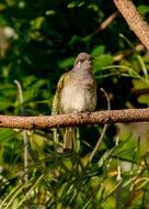 Brown Honeyeater Bird on branch
