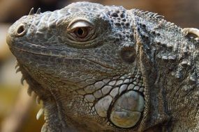 Iguana Face Portrait