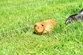 cute guinea pigs on the grass