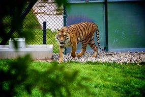 striped tiger walks through the aviary