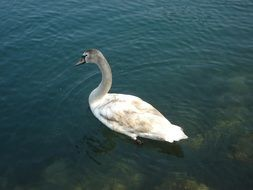 swan on clear water