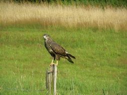 Common Buzzard Bird